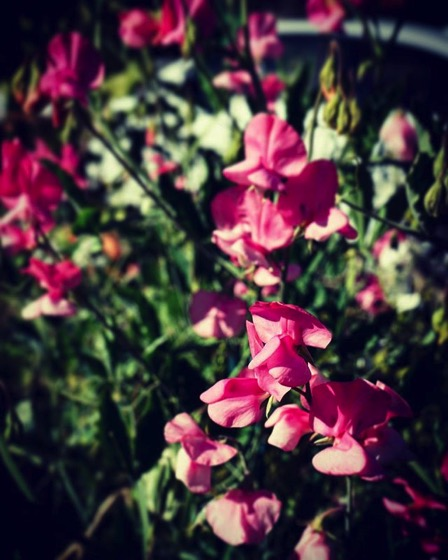 Sweet pea flowers In the neighborhood via y Instagram