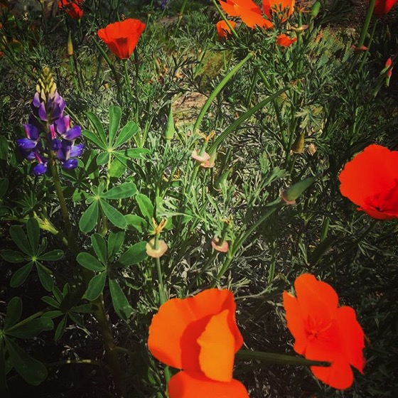 California Poppy and Lupine via My Instagram