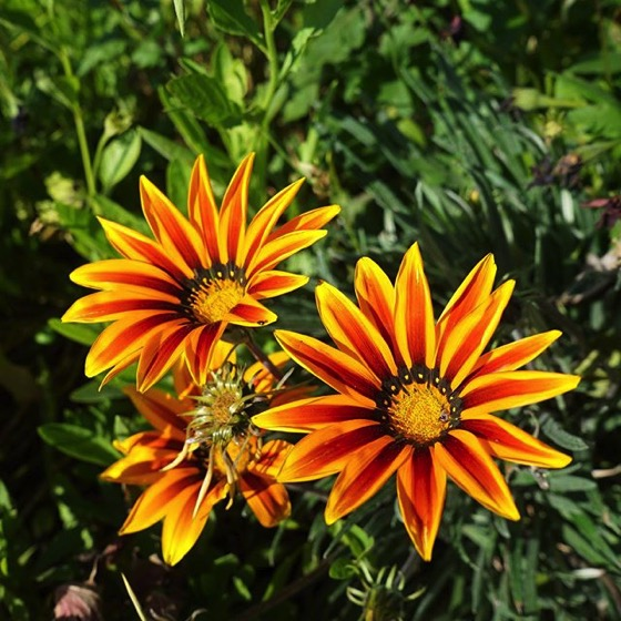 Gazania via My Instagram