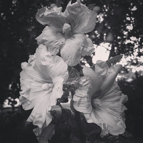 Hollyhock Flowers via My Instagram