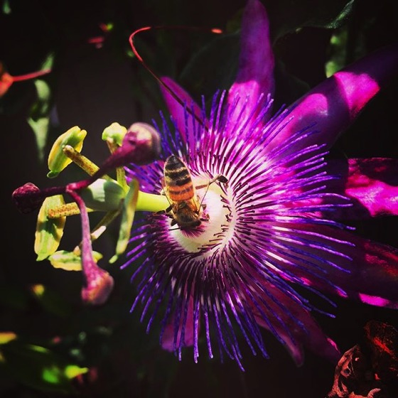 Bee on Passionflower (Passiflora) via My Instagram