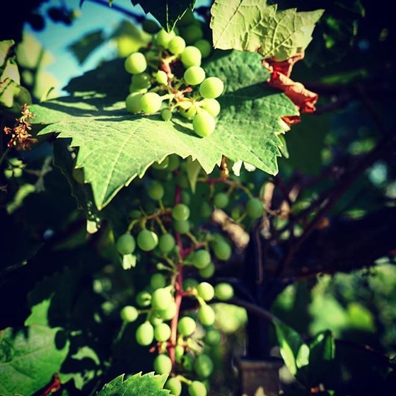 Grapes in the Neighborhood -- Follow Me On Instagram!