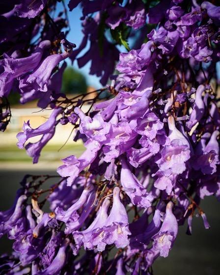 Jacaranda Blossoms via  My Instagram