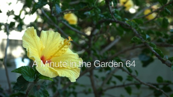 Hibiscus Flower - A Minute In The Garden 63 from A Gardener's Notebook [4k Video]