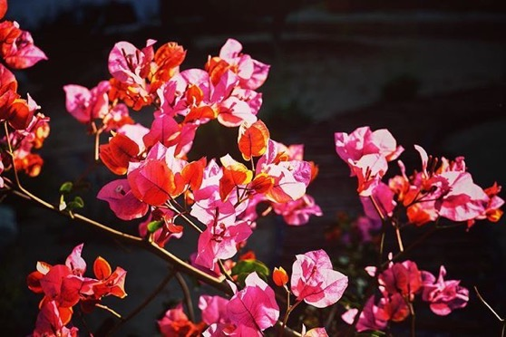 Bougainvillea in the Sun via Instagram