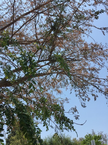 Chinese elm 2