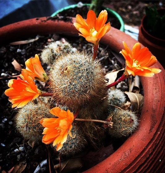 Flowering Now: Cactus Flowers