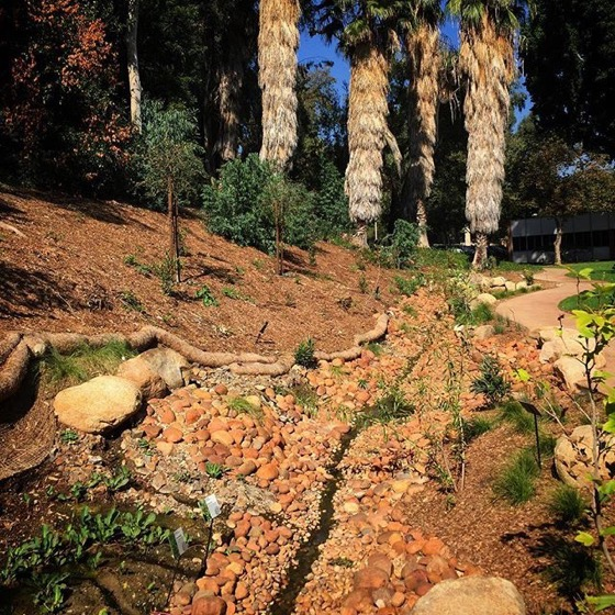 New drought-tolerant native garden with swale at Cal Poly Pomona via Instagram