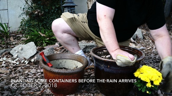 Container Garden Update 45: Planting Mums and Gazania [Video] (1:50)
