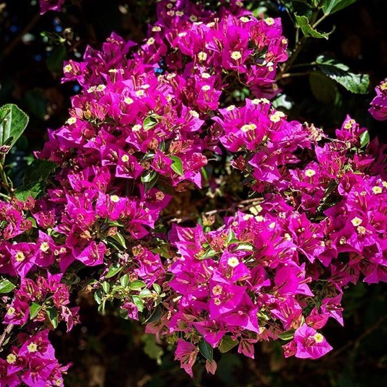 Bougainvillea in the neighborhood