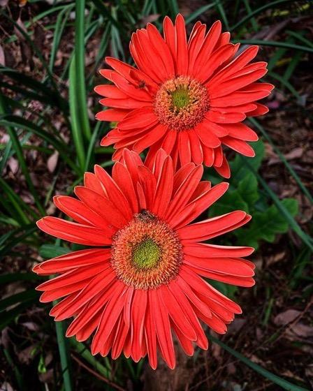 Flowering Now: Gerbera Daisy in the Garden via Instagram