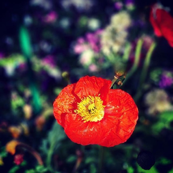 A Poppy Blooms via Instagram