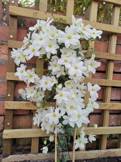 Interesting Plant: Clematis x cartmanii 'Avalanche' (White Evergreen Clematis)