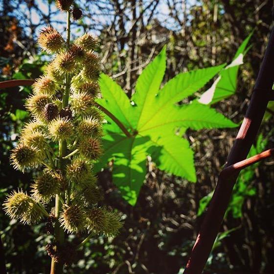 Castor Bean Plant (Ricinus communis) via Instagram