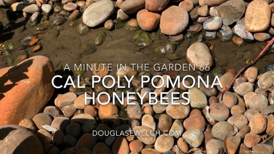 Honeybees Gathering Water - A Minute in the Garden 66 [Video]