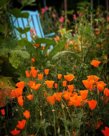 My Los Angeles 78: California Poppies (Eschscholzia californica) via Instagram