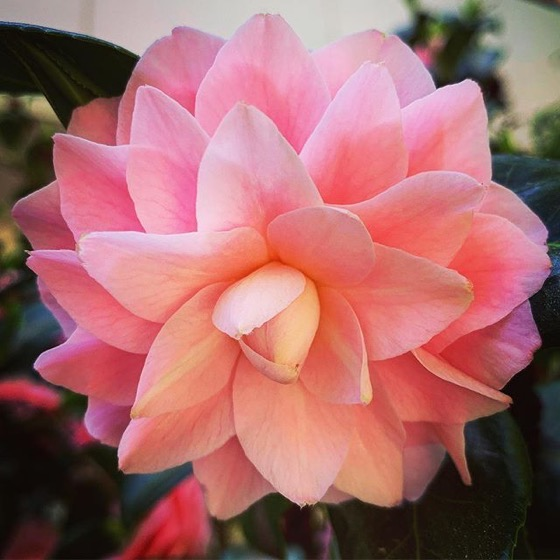 Perfect Pink Camellia at Cal Poly Pomona via Instagram