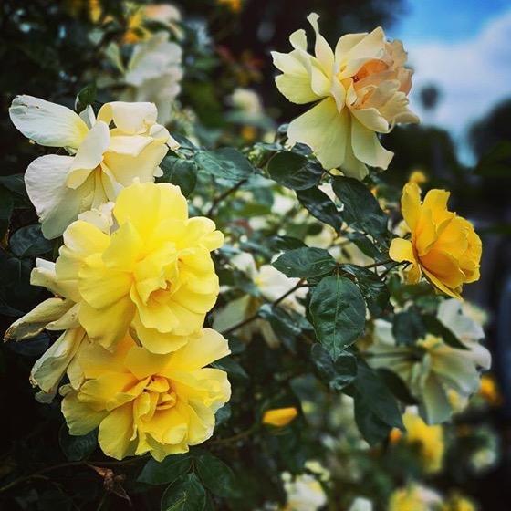 Flowering Now: Yellow Shrub Roses via Instagram