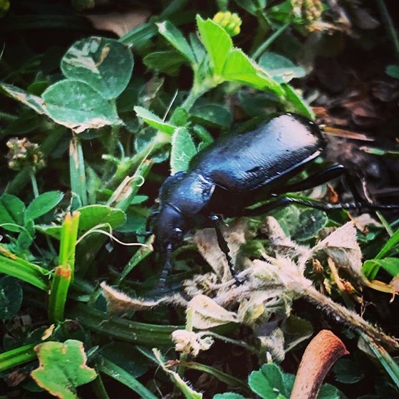 Carabus (?) Beetle In The Garden via Instagram