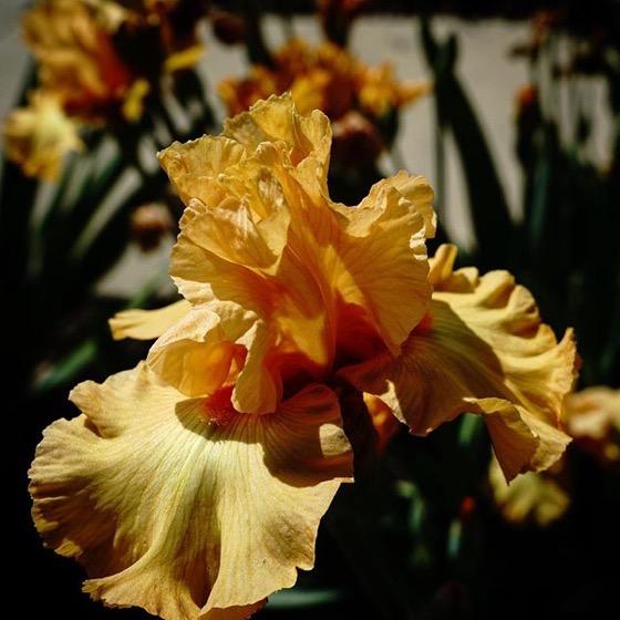 An Iris In The Rose Garden via Instagram