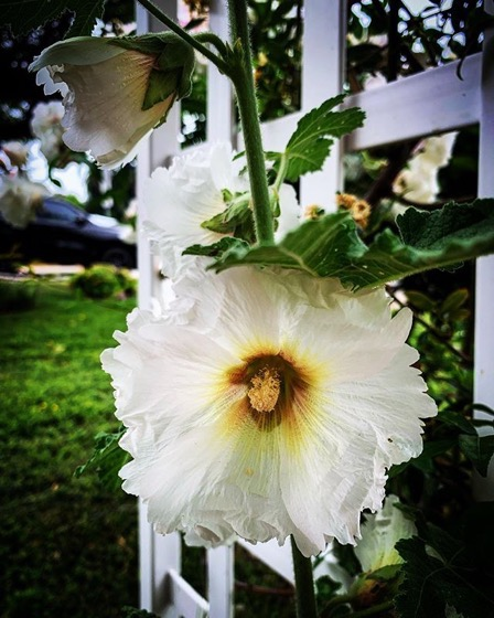 Hollyhocks (Alcea) are blooming via Instagram