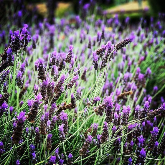 Lavender In The Neighborhood via Instagram