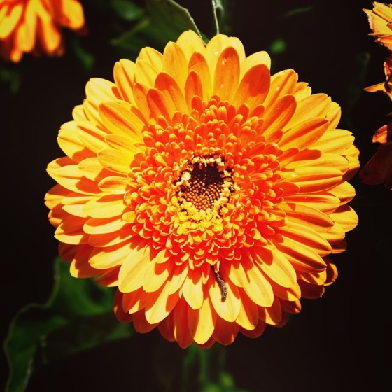 Chrysanthemum in the @calpolypomona Rose Garden via Instagram
