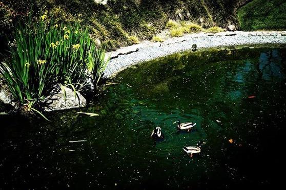 Duck Triangle via My Instagram