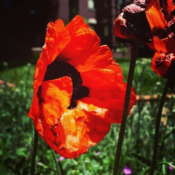 Oriental Poppy at Center for Colorado Women's History at Byers-Evans House, Denver, Colorado via Instagram