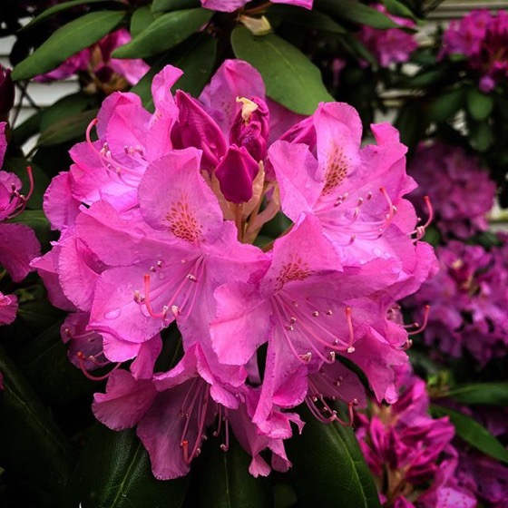 Rhododendrons On Full Flower via My Instagram