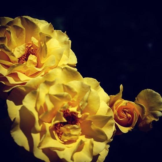 Striking Yellow Roses via Instagram