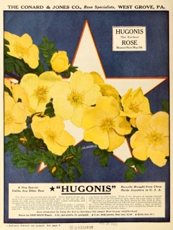Historical Seed Catalogs: The Conard & Jones Co. roses (1920) - 28 in a series