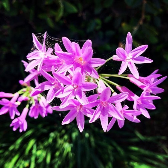 Society Garlic (Tulbaghia violacea) Flowers