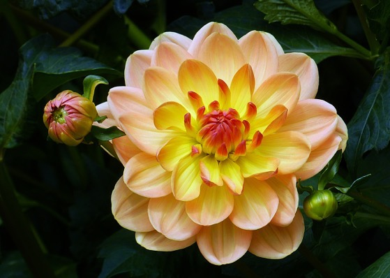 Dazzling Dahlias - 1 in a series