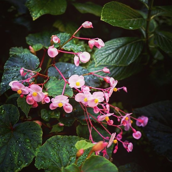 Begonia? via Instagram