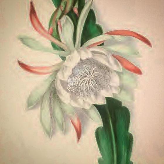 Queen Of The Night Cactus (ca 1900) via Internet Archive