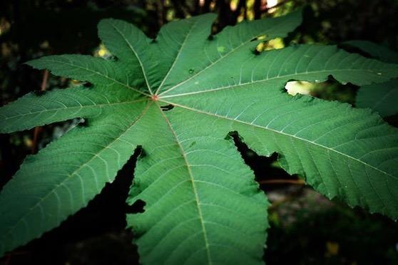 Castor Bean Leaf (Ricinus communis) via Instagram