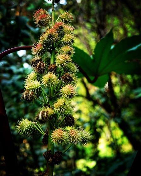 Castor Bean Pods (Ricinus communis) via Instagram