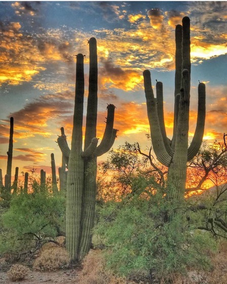 Captivating Cactus: 3 in a series - Saguaro Cactus via cactus_collector on Instagram