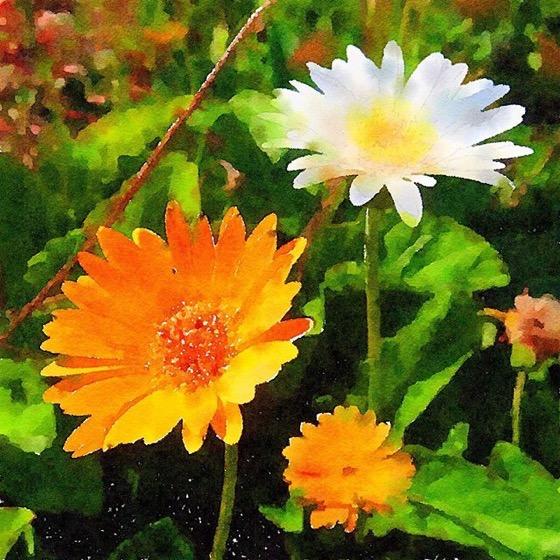 Gazania Flowers in Watercolor via Instagram