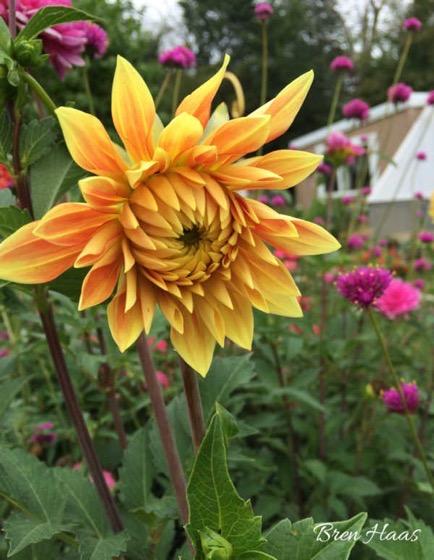 Dazzling Dahlias - 7 in a series - Roses VS. Dahlias in The Autumn Home Garden via Creative Living with Bren Haas