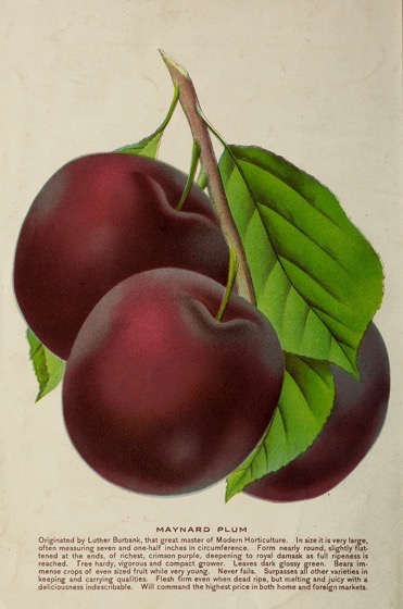Historical Seed Catalogs: Maynard plum catalogue by Oregon Nursery Co (1904) - 44 in a series