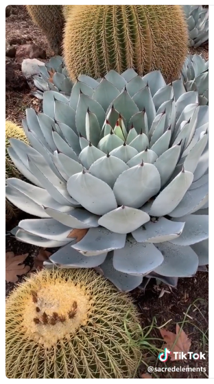 Captivating Cactus and Striking Succulents: 10 in a series - Actual Heaven (Huntington Library) via SacredElements on TikTok