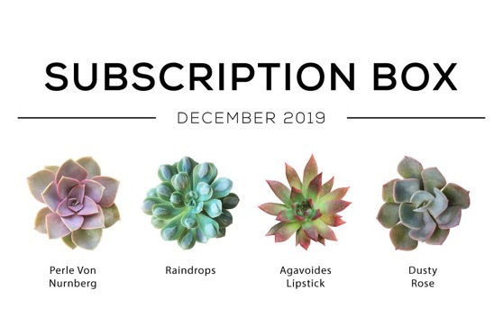 Captivating Cactus and Striking Succulents: 13 in a series - 4 Echeveria