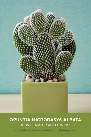 Captivating Cactus and Striking Succulents: 15 in a series - Opuntia microdasys albata via Succulents and Sunshine