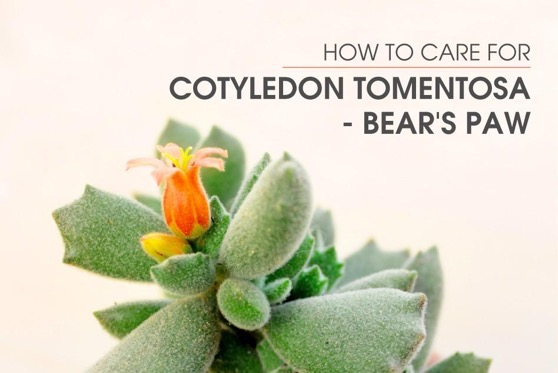 Captivating Cactus and Striking Succulents: 14 in a series - How To Care For Cotyledon Tomentosa - Bear's Paw via Succulents Box