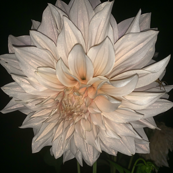 Dazzling Dahlias - 13 in a series - Dahlia in the Dust via Sofia Weström on WTSocial