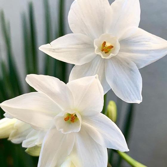First Paperwhites (Narcissus papyraceus ) 2019 via Instagram