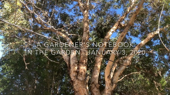 In The Garden...January 3, 3020 from A Gardener's Notebook [Video] (1 minute 30 seconds)