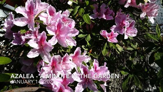 Azalea - A Minute In The Garden for A Gardener's Notebook